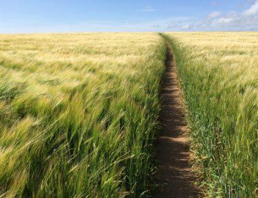 Beautiful-walks-through-wheat-fields.jpg